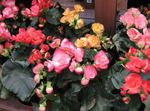 Photo Begonia, pink herbaceous plant