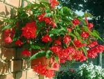 Photo Begonia, red herbaceous plant
