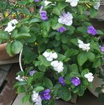 Photo Brunfelsia, Yesterday-Today-Tomorrow, white shrub