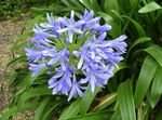 Photo African blue lily, light blue herbaceous plant