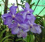 Photo Vanda, light blue herbaceous plant