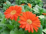 Photo Transvaal Daisy, orange herbaceous plant