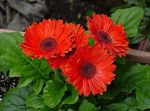 Photo Transvaal Daisy, red herbaceous plant