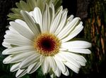 Photo Transvaal Daisy, white herbaceous plant