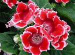 Photo Sinningia (Gloxinia), red herbaceous plant