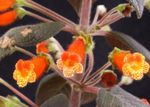 Photo Tree Gloxinia, orange herbaceous plant