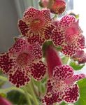Photo Tree Gloxinia, claret herbaceous plant