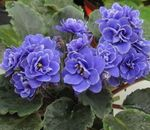 Photo African violet, dark blue herbaceous plant