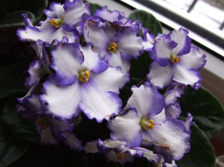 Photo violette africaine blanc herbeux for Violette africane