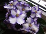 Photo African violet, white herbaceous plant