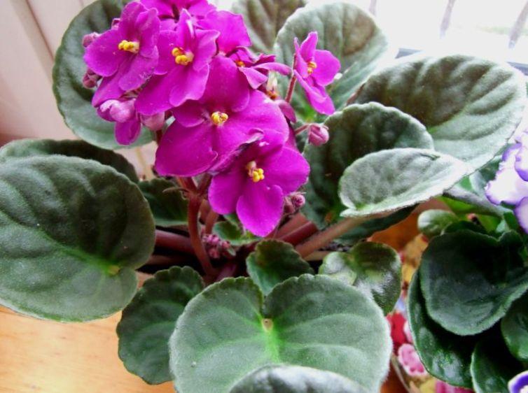 Photo violette africaine rose herbeux for Violette africane