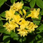 Photo Azaleas, Pinxterbloom, yellow shrub