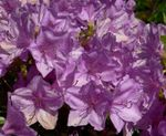 Photo Azaleas, Pinxterbloom, lilac shrub