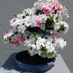 Photo Azaleas, Pinxterbloom, white shrub
