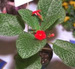 Photo Episcia, red herbaceous plant