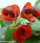 Photo Lipstick plant, , red