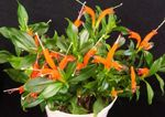 Photo Lipstick plant, , orange