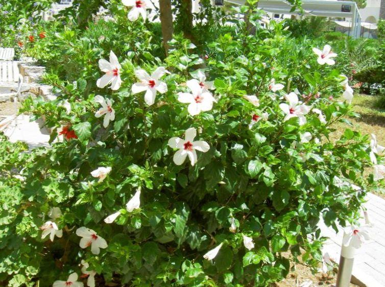 Foto hibisco blanco arbustos - Arbustos de interior ...