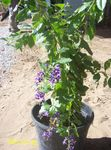 Photo Duranta, Honey Drops, Golden Dewdrop, Pigeon Berry, dark blue tree