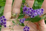 Photo Duranta, Honey Drops, Golden Dewdrop, Pigeon Berry, purple tree