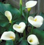Photo Arum lily, white herbaceous plant