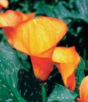 Photo Arum lily, orange herbaceous plant