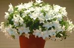 Photo Campanula, Bellflower, white hanging plant