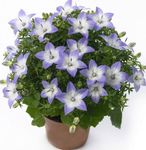 Photo Campanula, Bellflower, light blue hanging plant