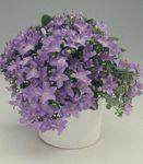 Photo Campanula, Bellflower, lilac hanging plant
