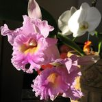 Photo Cattleya Orchid, pink herbaceous plant