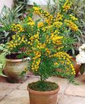 Photo Acacia, yellow shrub