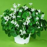 Photo Oxalis, white herbaceous plant