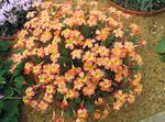 Photo Oxalis, orange herbaceous plant