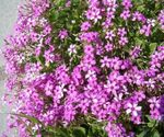 Photo Oxalis, pink herbaceous plant