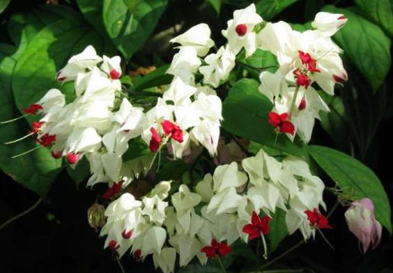 Photo clerodendron blanc des arbustes for Arbuste interieur