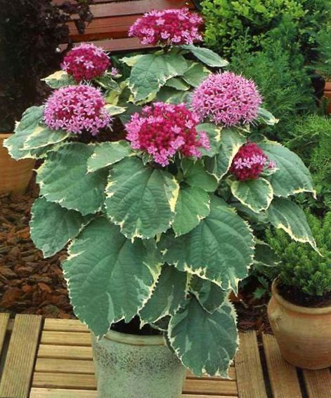 Photo clerodendron rose des arbustes for Arbuste interieur