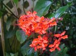 Photo Clerodendron, red shrub