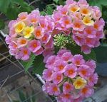 Photo lantana, pink shrub