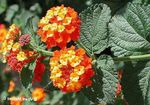 Photo lantana, orange shrub