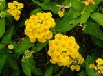 Photo lantana, yellow shrub