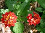 Photo lantana, red shrub