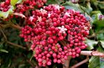 Photo Red Leea, West Indian Holly, Hawaiian Holly, pink shrub