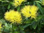 Photo Christmas tree, Pohutukawa, yellow