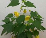 Photo Flowering Maple, Weeping Maple, Chinese Lantern, yellow tree