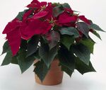 Photo Poinsettia, claret herbaceous plant