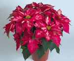 Photo Poinsettia, pink herbaceous plant