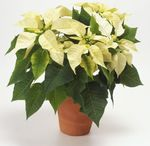 Photo Poinsettia, white herbaceous plant
