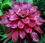 Photo Bromeliad, claret herbaceous plant