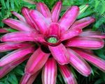 Photo Bromeliad, pink herbaceous plant