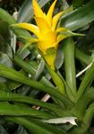 Photo Nidularium, yellow herbaceous plant